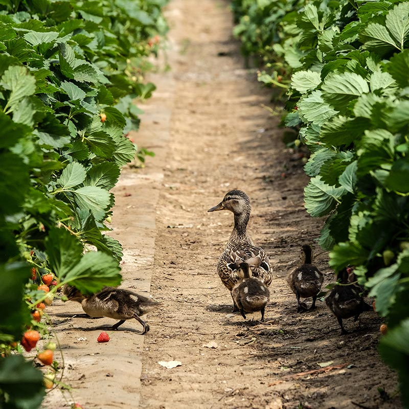A mother duck with her ducklings walking through strawberry plants on a The Summer Berry Company farm