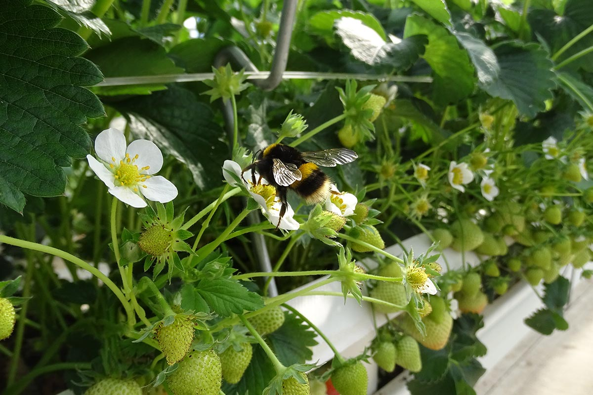 A bumble bee leaving its hive next to a ripening strawberry on a Hall Hunter farm