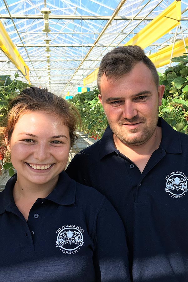 A team of The Summer Berry Company employees picking strawberries in a polytunnel