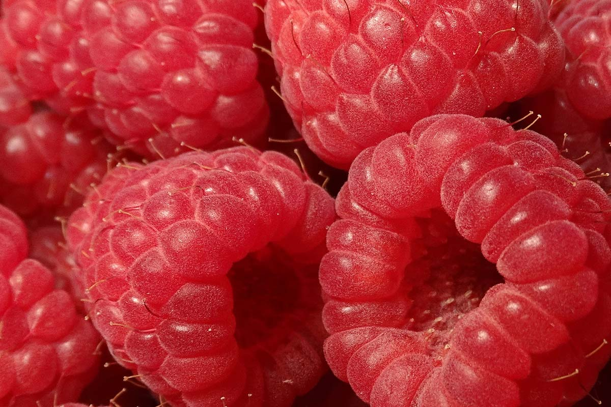 A close up shot of high quality raspberries grown by The Summer Berry Company